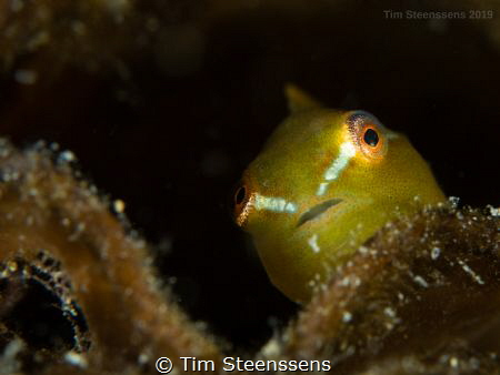 Very happy to have spotted this baby Lumpsucker - you rar... by Tim Steenssens
