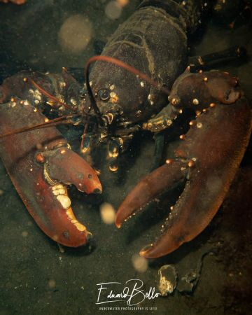 Common lobster, kreeft, homarus gammarus by Eduard Bello