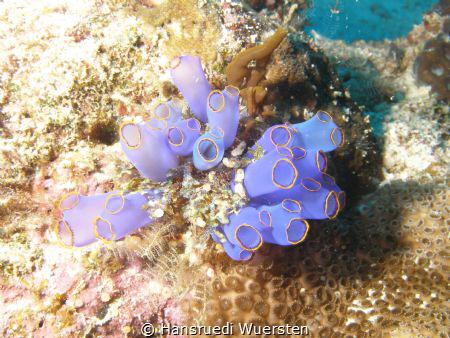 Blue Sea Squirt - Clavelina caerulea by Hansruedi Wuersten