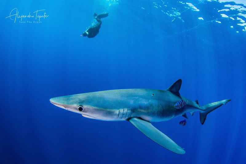 Blue Shark and Diver, Cabo San Lucas Mexico by Alejandro Topete