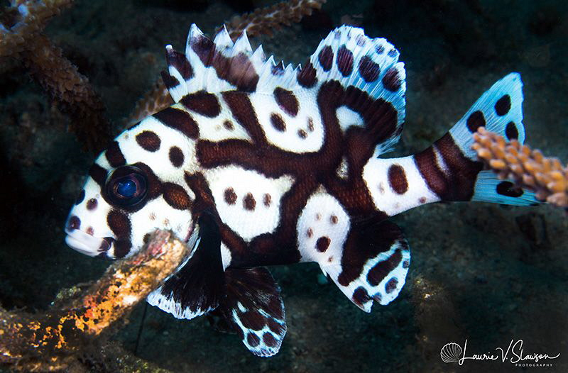 Many-Spotted Sweetlips/Photographed with a 60 mm macro le... by Laurie Slawson