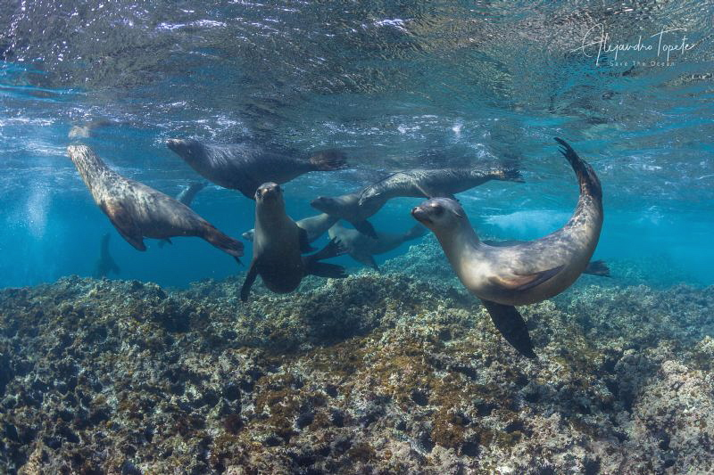 Sea Lions Playing in the Reef,Bahia Magdalena, Mexico by Alejandro Topete