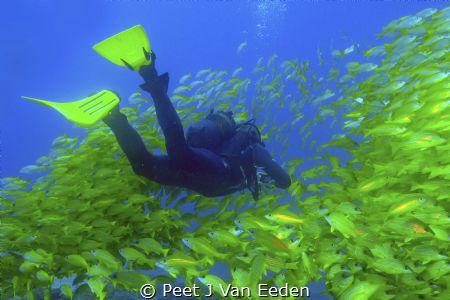 Mellow Yellow is the dive site's name in Sodwana Bay. Tru... by Peet J Van Eeden