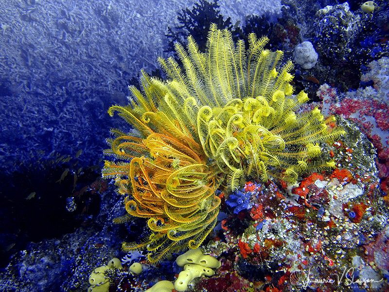 Yellow Crinoids/Photographed at Wananavu, Fiji. by Laurie Slawson