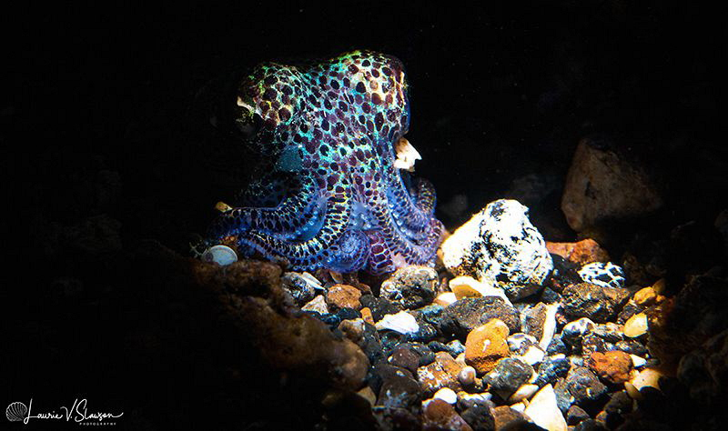 Bobtail Squid/Photographed with a Canon 60 mm macro lens ... by Laurie Slawson