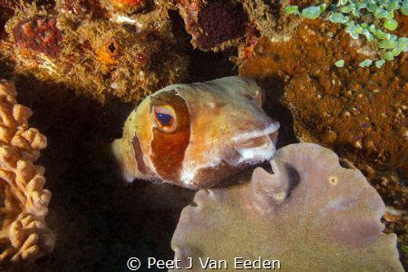 I met this friendly guy at Sodwana Bay Marine Park by Peet J Van Eeden