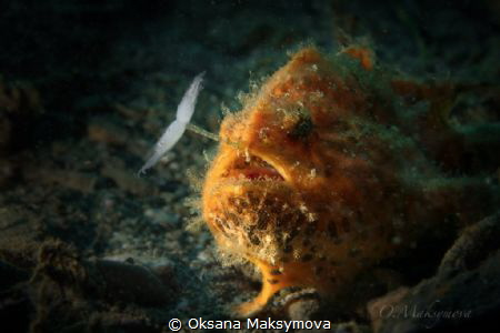 Frogfish by Oksana Maksymova