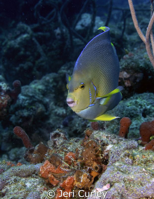 Townsend angelfish posing for the camera by Jeri Curley