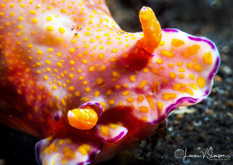 Cerastosoma gracillum/Photographed with a Canon 60 mm mac... by Laurie Slawson