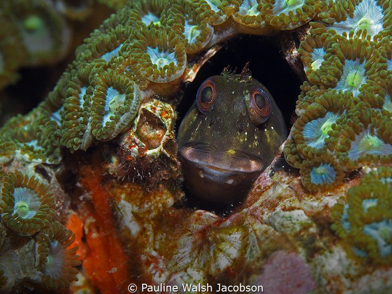 Molly Miller Blenny, Scartella cristata, Lauderdale-by-th... by Pauline Walsh Jacobson
