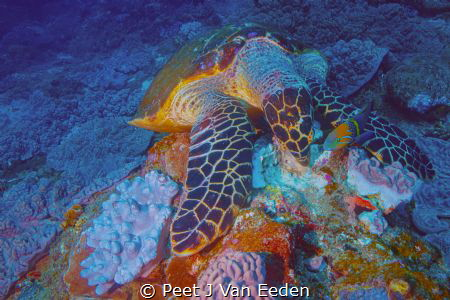 A hawksbill turtle is sharing its meal with a goldbar wrasse by Peet J Van Eeden