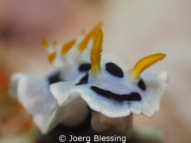 """This cutie goes by the name of """"Chromodoris dianae"""" by Joerg Blessing"""
