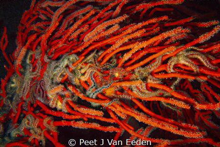 Strangled  Brittle stars interwoven with a palmate sea fan by Peet J Van Eeden