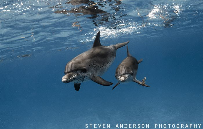 Spotted Dolphins enjoy some early morning playtime over t... by Steven Anderson