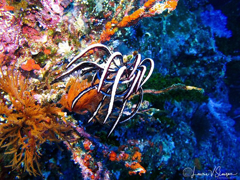 Crinoid/Photographed at Wananavu, Fiji by Laurie Slawson