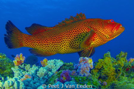 The rare and endangered tiger rock cod. What a beautiful ... by Peet J Van Eeden