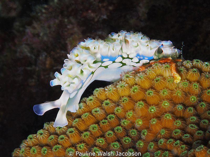 Lettuce Sea Slug, Elysia crispata, Bonaire by Pauline Walsh Jacobson
