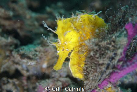 This lined seahorse was an easy find even in poor visibil... by Griff Gainnie