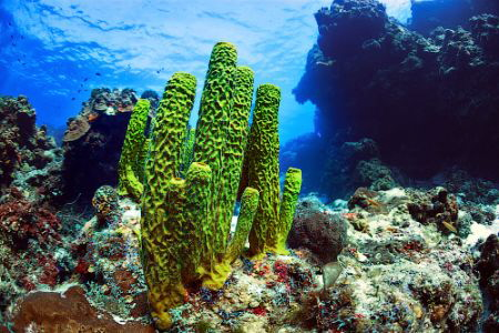 Coral a green sponge in the Caribbean Sea. Cozumel. by Sergey Lisitsyn