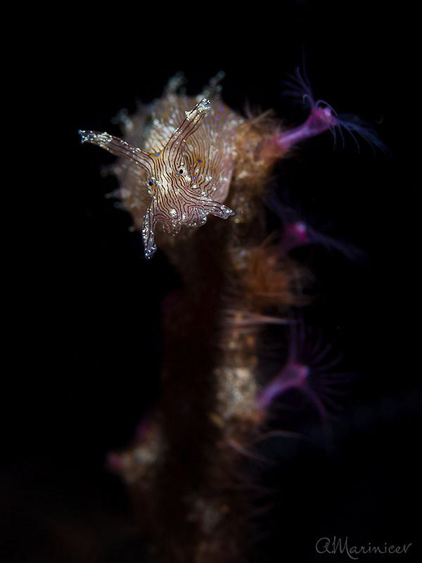 Blue Dot Sea Hare by Aleksandr Marinicev
