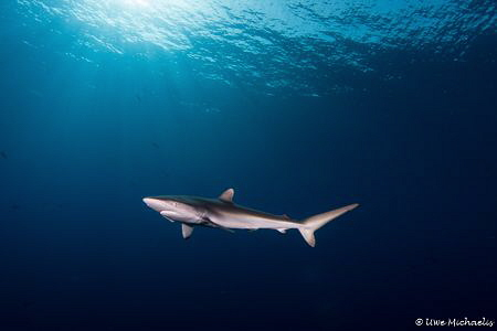 Curious silky shark in Sudanese Red Sea. Although he had ... by Uwe Michaelis