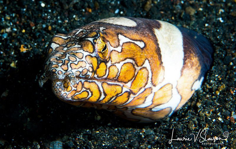 Napoleon Snake Eel/Photographed with a Canon 100 mm macro... by Laurie Slawson