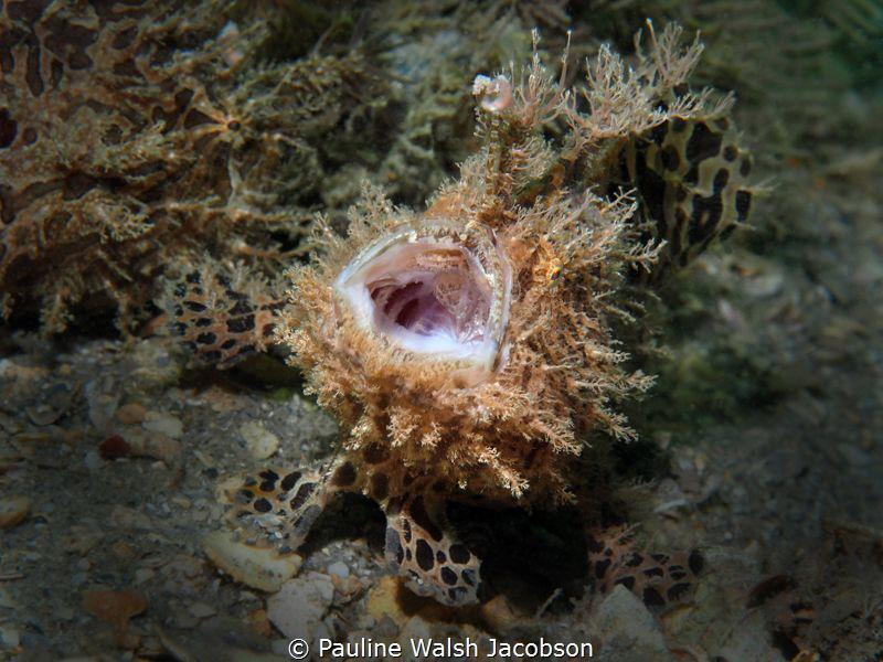 """The Opera Singer"" - Yawning Striated Frogfish, Antennari... by Pauline Walsh Jacobson"