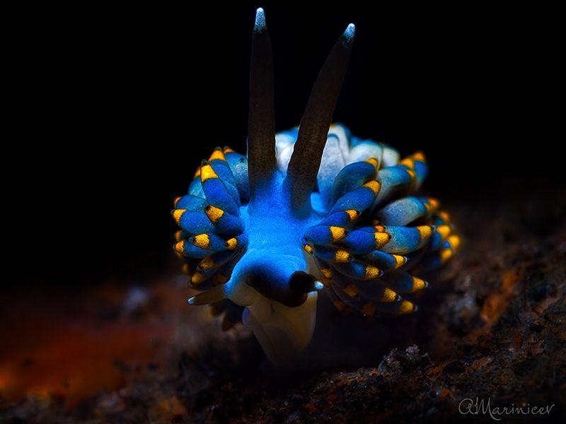 Nudibranch Trinchesia yamasui Tulamben, Bali by Aleksandr Marinicev