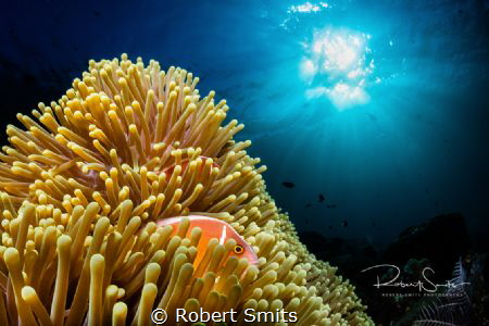 Did you know that clownfish (Nemo) have many relatives in... by Robert Smits