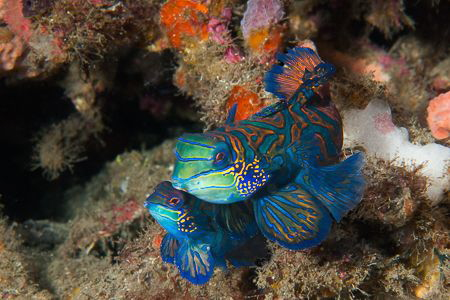 Mating mandarinfish, Lembeh Strait, Indonesia. Nikon D720... by Ted Timmons
