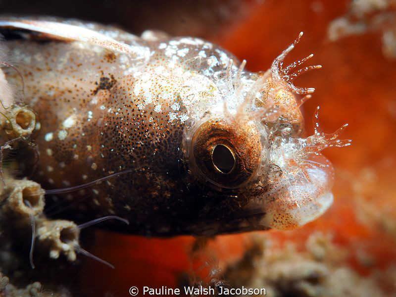 Roughhead Blenny, Acanthemblemaria aspera by Pauline Walsh Jacobson