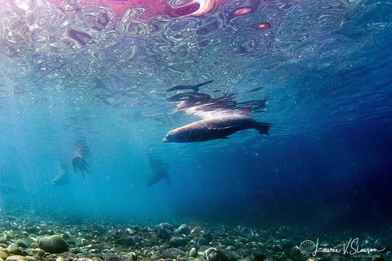 Sea Lion With Bubbles/Photographed with a Tokina 10-17 mm... by Laurie Slawson