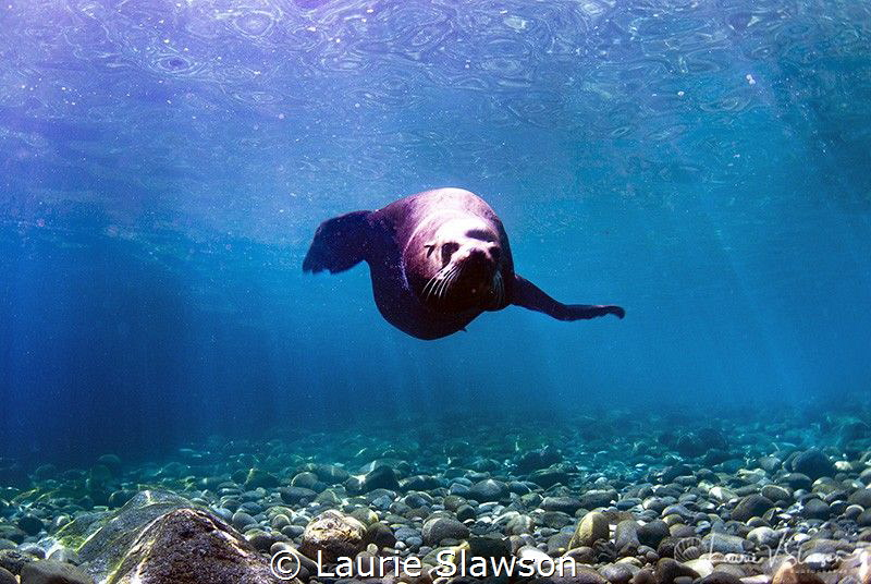 Hello There!/Sea lion photographed with a Tokina 10-17 mm... by Laurie Slawson