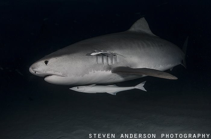 An early evening with a few Tiger Sharks is a great date!... by Steven Anderson