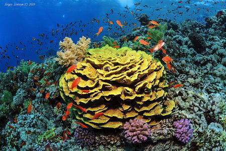 Beautiful coral reef with a big yellow coral of Turbinaria. by Sergey Lisitsyn