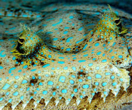 Peacock Flounder by John Loving