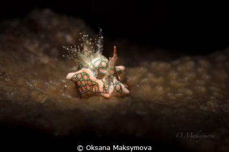 Psychedelic batwing slug (Sagaminopteron psychedelicum) by Oksana Maksymova