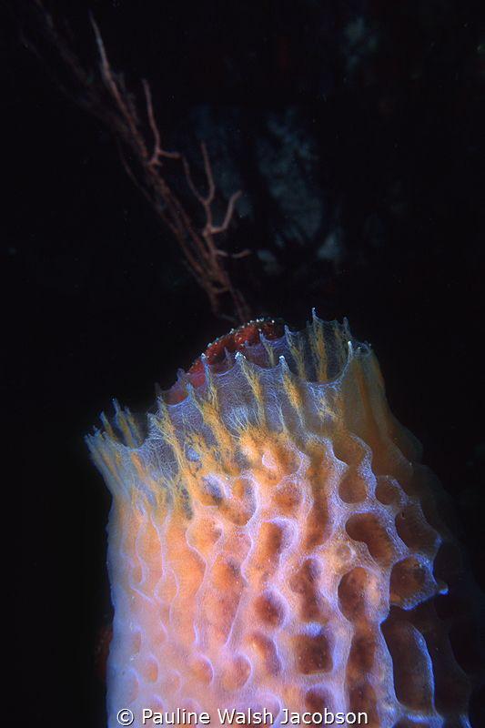 Azure Vase Sponge, British Virgin Islands by Pauline Walsh Jacobson