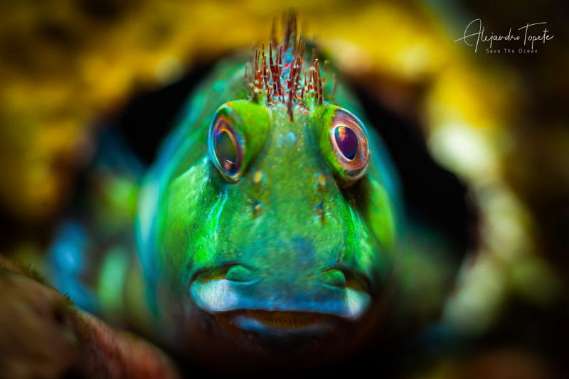 Blenny Green Punk, Isla Lobos Mexico by Alejandro Topete