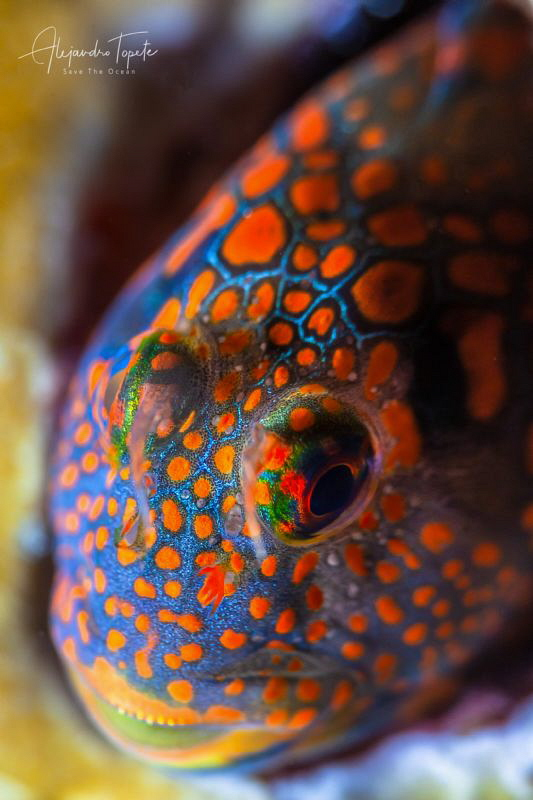 Colorfull blenny, Isla Lobos Mexico by Alejandro Topete