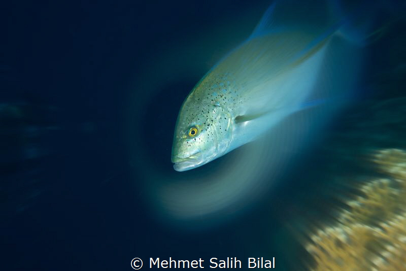 Bluefin trevally.No photoshop. by Mehmet Salih Bilal