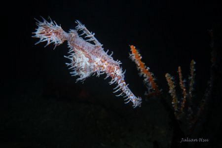 Ornate ghost pipefish carrying eggs by Julian Hsu