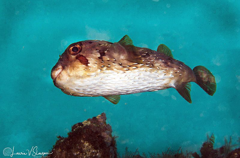 Porcupinefish/Photographed with a Canon 60 mm macro lens ... by Laurie Slawson