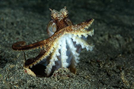 Strike a Pose. We spotted this octopus with just part of ... by Ted Timmons