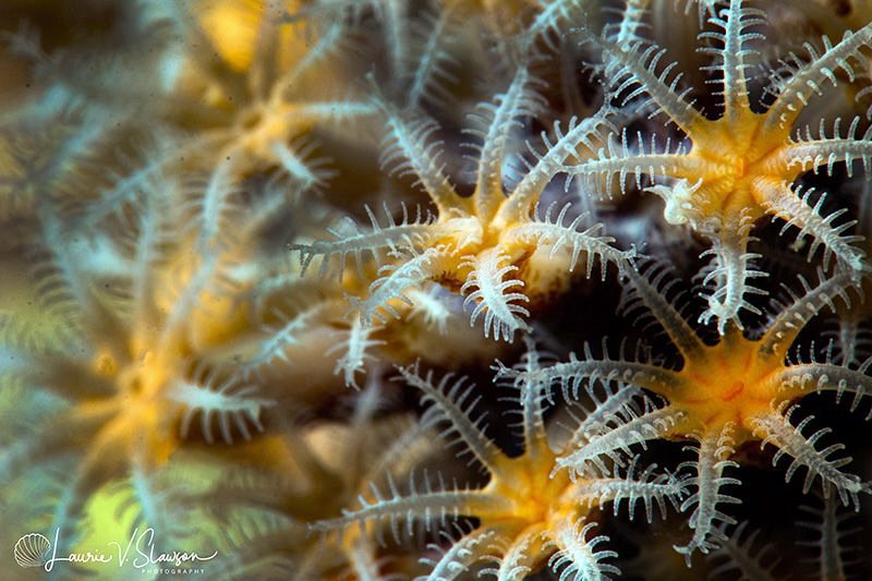 Star Coral/Photographed with a Canon 60 mm macro lens and... by Laurie Slawson