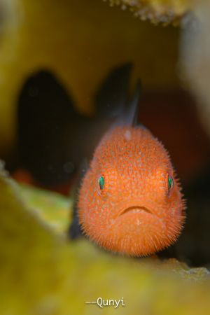 Redhead beard goby. By Nikon z7, 105mm and nauticam housing. by Qunyi Zhang