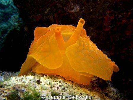 Pleurobranchus testudinarius Orange by Cumhur Gedikoglu
