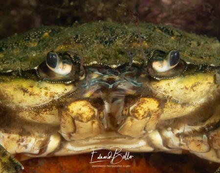 Usual beach crab (strandkrab, carcinus maenas) by Eduard Bello
