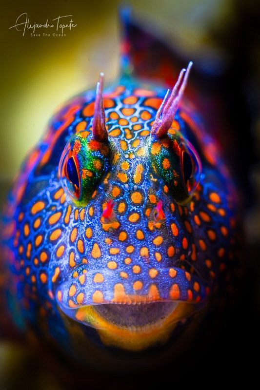 Colorfull Blenny, Plataforma Tiburon Mexico by Alejandro Topete