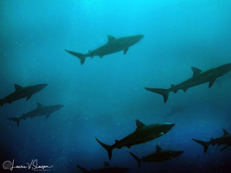 Sharks at Tahiti by Laurie Slawson